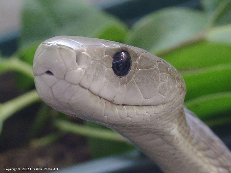 Black mamba snake god 39 s creation pinterest black for Black mamba tattoo