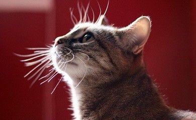 Il gatto perde il pelo e pure le vibrisse: è la muta dei baffi di primavera