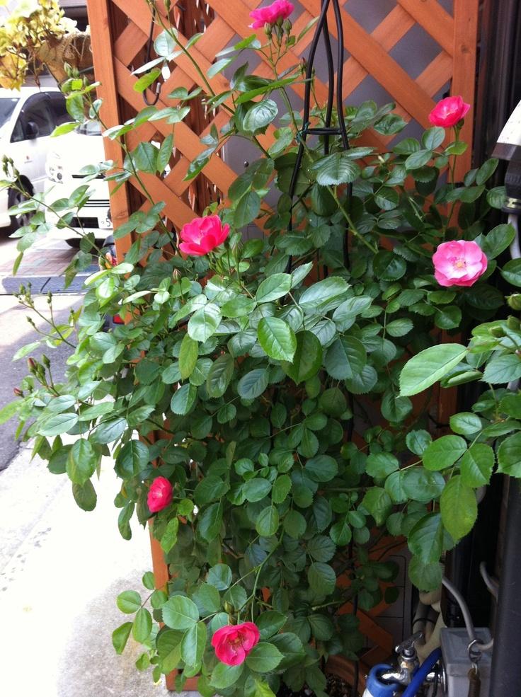 2012.05.14 #rose #Angela