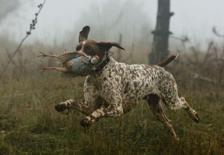 braque francais point | Accueil - Elevage du milobre de Bouisse - eleveur de chiens Braque ...