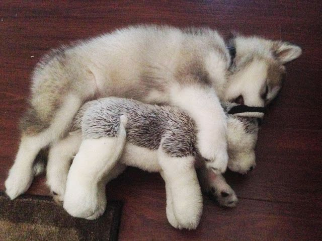 White Wolf Alaskan Malamute Destroys Every Toy Except The One