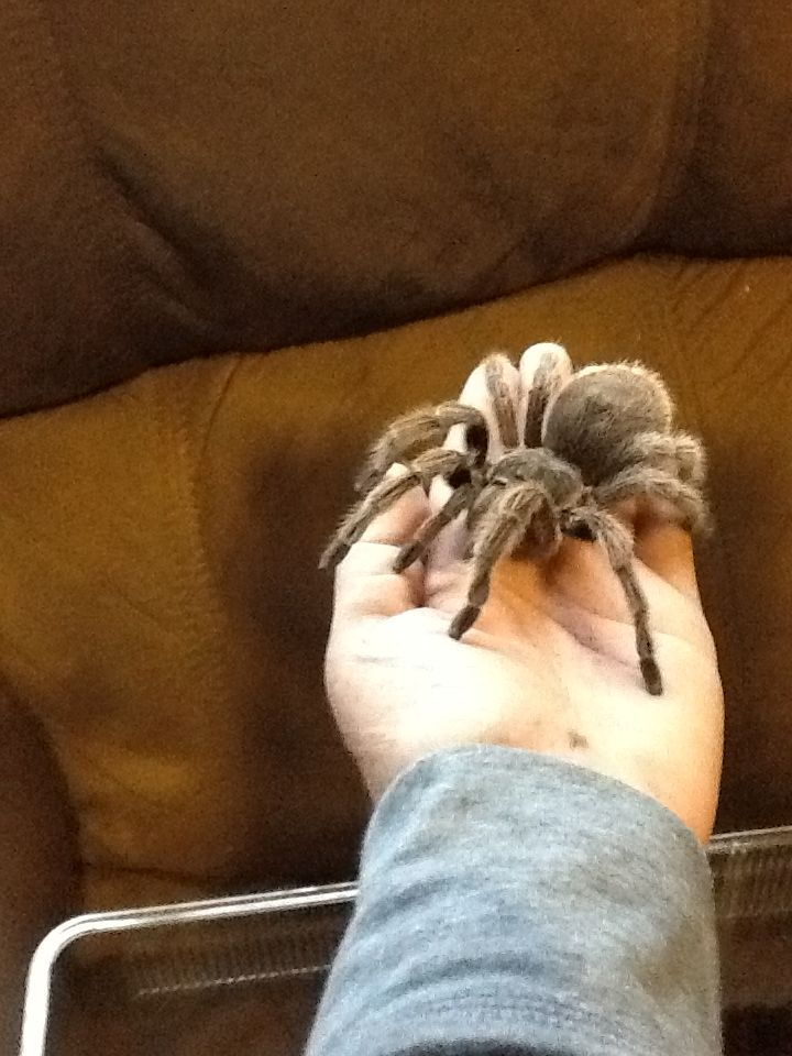 This is my newest Pet as of Nov 16th 2013. She is a Chilean Rose Hair Tarantula and I am getting another one (same kind) for Thanksgiving.. Looking forward to making my Tarantula collection bigger than what it is now I currently have 3 of them.