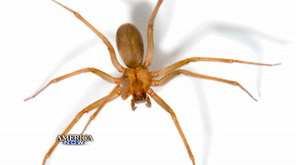 Recluse spider bites can cause severe injuries, death - 14 News, WFIE, Evansville, Henderson, Owensboro