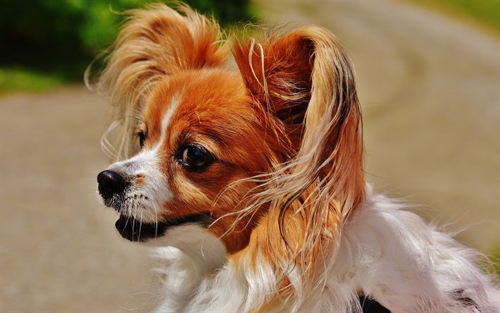 Download wallpapers Cavalier King Charles Spaniel, 4k, dogs, cute animals, spaniel