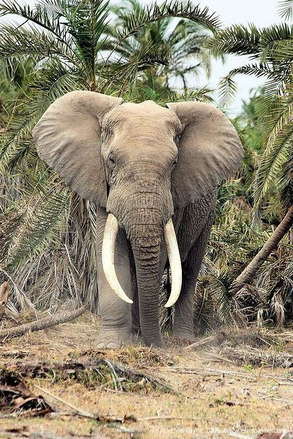 Elephant on safari, Kenya