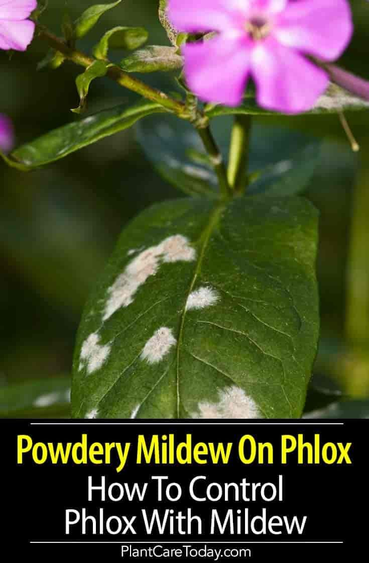 Powdery Mildew On Phlox How To Control Phlox With Mildew With