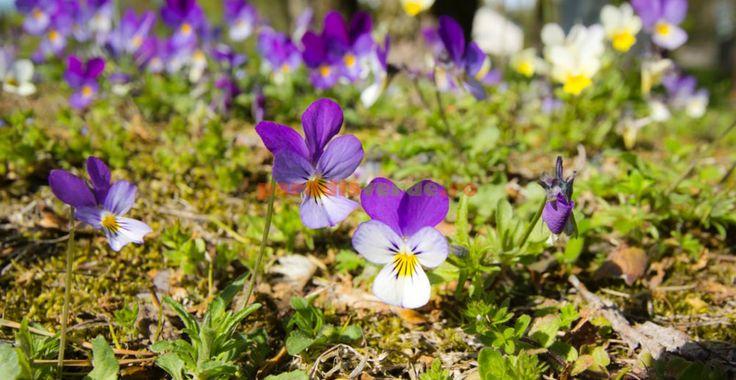 Cine s-ar fi gândit ce plante medicinale valoroase sunt toporașii (trei-frați-pătați) | Paradis Verde