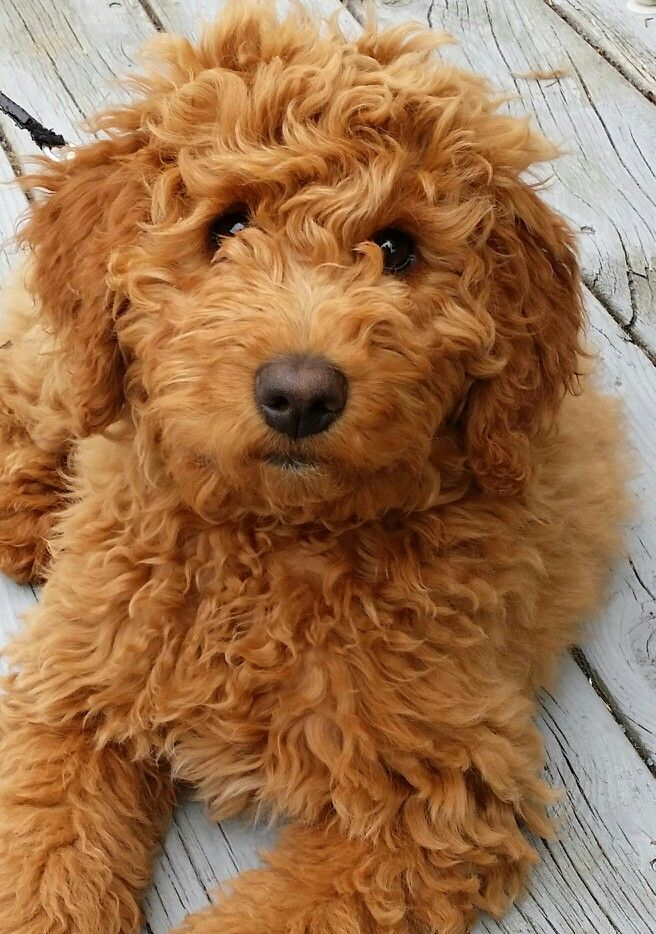red mini golden doodle
