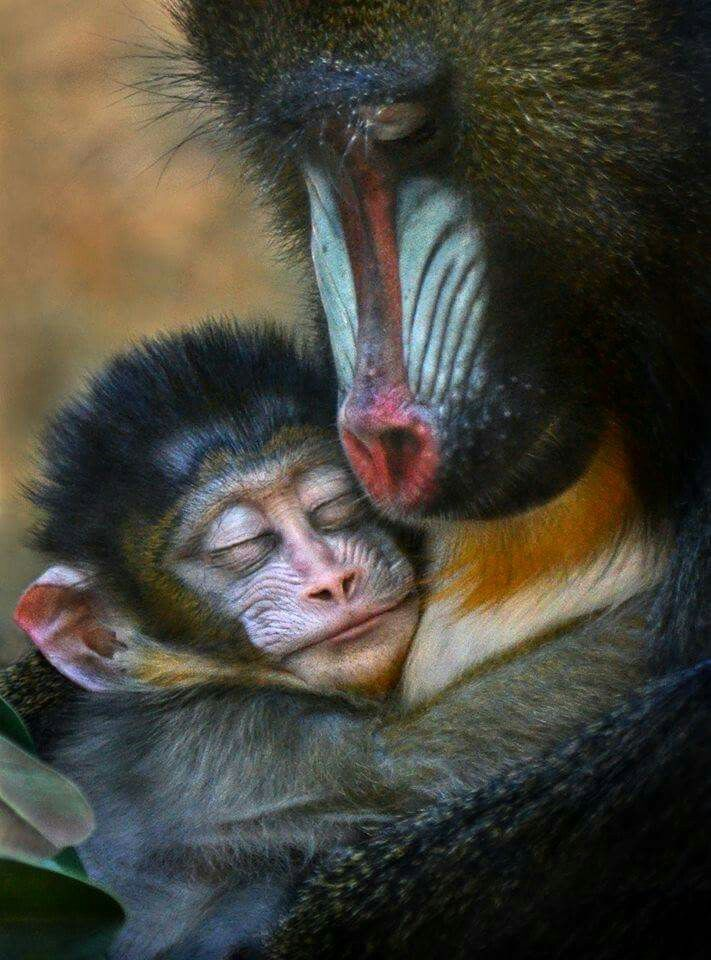 Sleeping mandrills/ OH MY GOSH~! THIS IS TOO SWEET FOR WORDS! SEE HOW THE MOTHER LOVES HER BABY JUST HOW WE HUMANS DO AND SEE HOW THE BABY WANTS AND NEEDS THE MOTHER? WHY CAN'T EVERYBODY LET THEM BE. JUST LET THEM BE. THEY HAVE FEELINGS TOO.