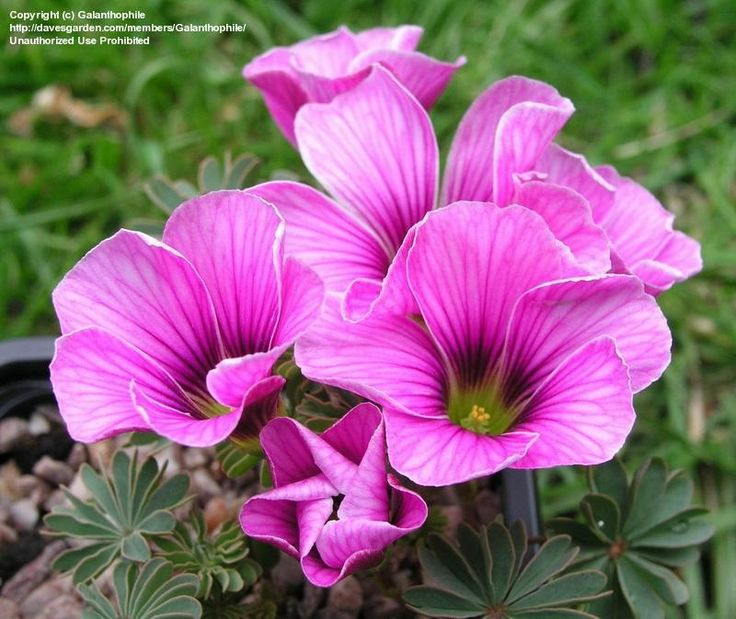 Bloom for May 18, 2012: Oxalis enneaphylla 'Patagonia' Photo by Galanthophile.