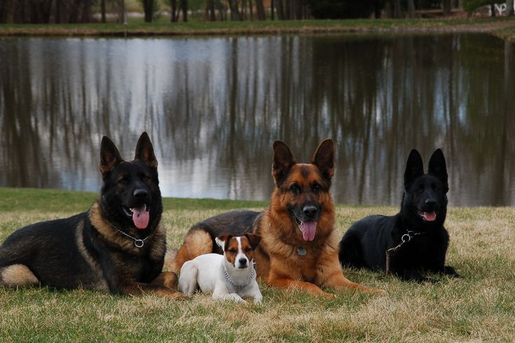 Big German Dog