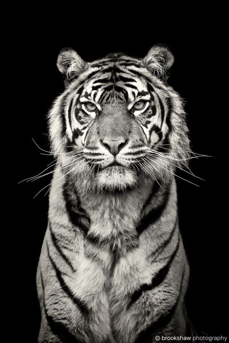 best 25 tiger love ideas on pinterest