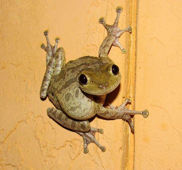 Pet frogs species - photo#49