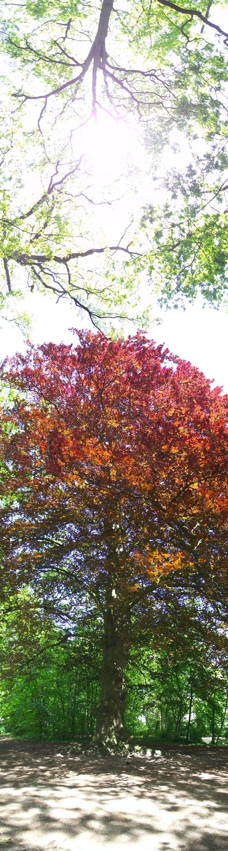 The Tree - Panorama shot.