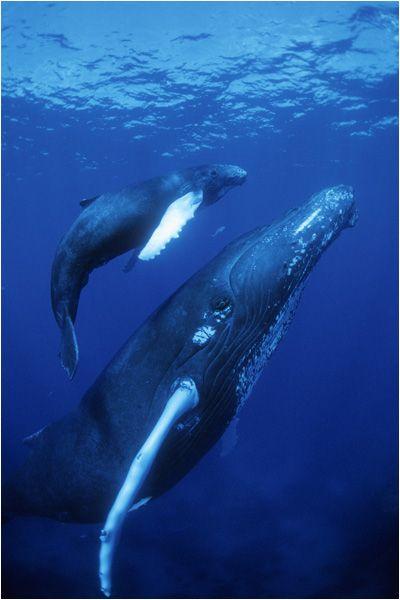 White Humpback Whale and Calf