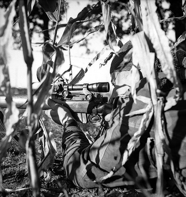 Belgium - Corporal S. Kormendy of The Calgary Highlanders, who is wearing a Dennison smock and a camouflaged head scarf, takes a concelead firing position in a cornfield during a scouting, stalking and sniping course, Kapellen, Belgium, 6 October 1944.