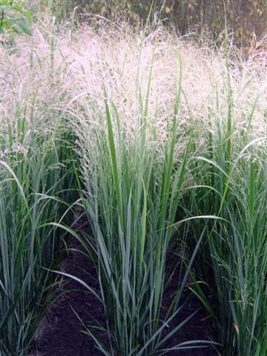 Panicum virgatum 'Northwind'. 7' Full Sun. Water moderate. Hardy z 4-10