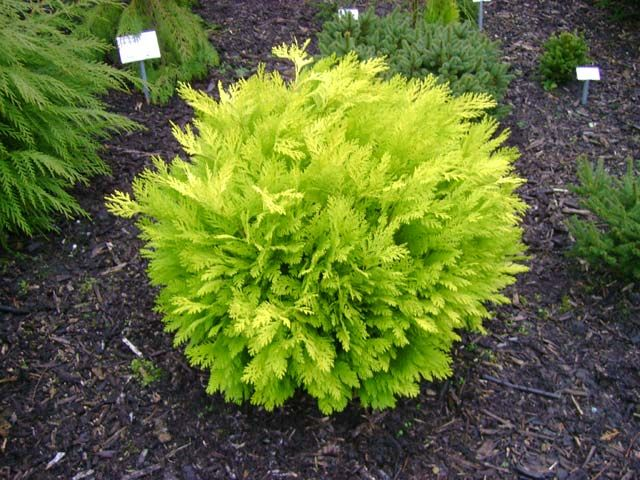 Mini Gold Plant : Best images about dwarf conifers on pinterest