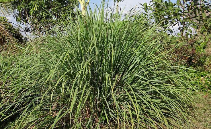 Seis tipos de plantas funcionam como repelente natural de insetos