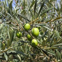 Caring for and cultivating an olive tree