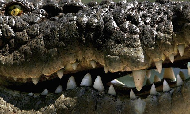 Human activity 'driving half of world's crocodile species to extinction'  Crocodile researcher warns the reptiles face a 'bleak future', but Australia's saltwater and freshwater species have a brighter outlook due to hunting ban
