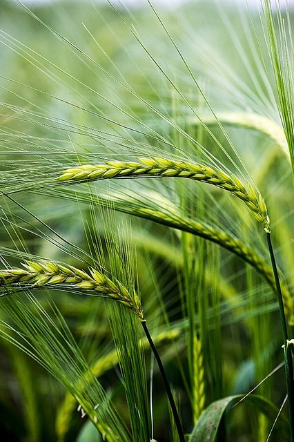 Sunlit Barley by Dave Hunt