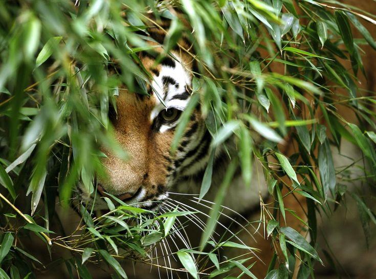 IlPost - Una tigre siberiana nello zoo di Duisburg, in Germania (ROLAND WEIHRAUCH/AFP/Getty Images) - Una tigre siberiana nello zoo di Duisburg, in Germania (ROLAND WEIHRAUCH/AFP/Getty Images)