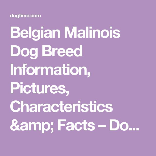 Belgian Malinois Dog Breed Information, Pictures, Characteristics & Facts – Dogtime