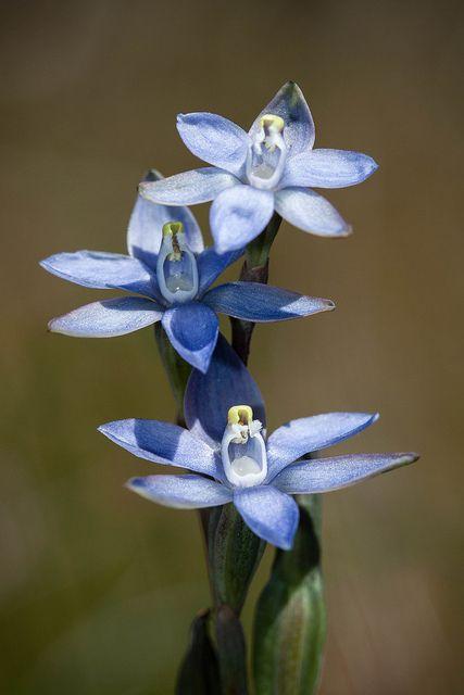 Sun Orchid (Thelymitra pauciflora)
