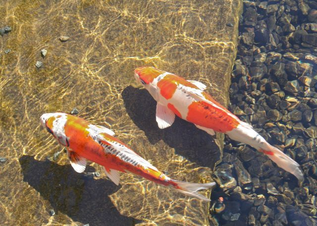 17 best images about koi on pinterest abstract art for Japan koi wild