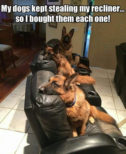 So I guess I should be happy I only have one German shepherd that has taken over the recliner.....