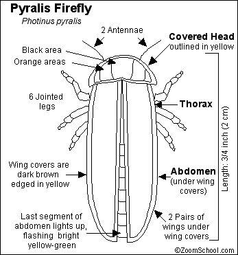 Firefly or Lightning Bug Printout - Enchanted Learning Software