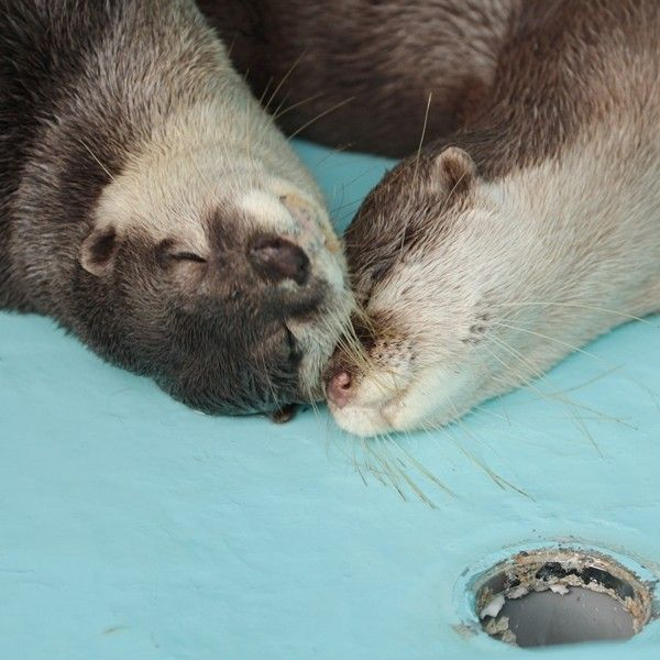 Otters Nuzzle Contentedly