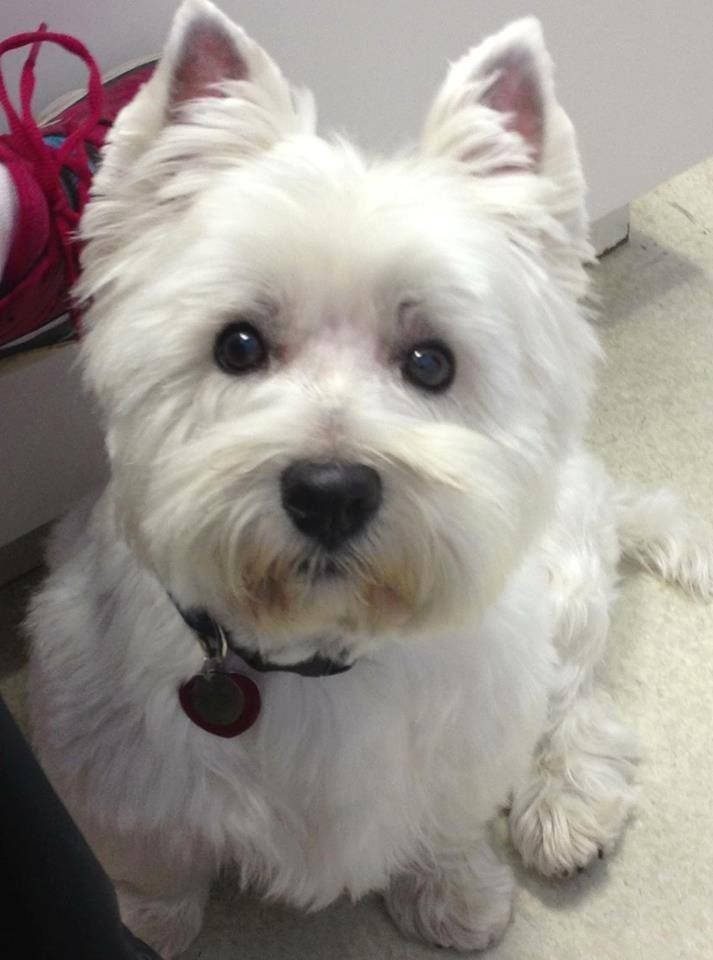 1382 best westie love images on pinterest westies white terrier and puppies - Pictures of westie dogs ...