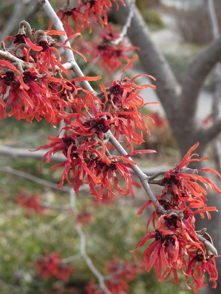 Hamamelis x intermedia 'Diana'   Trees, shrubs and climbers ...