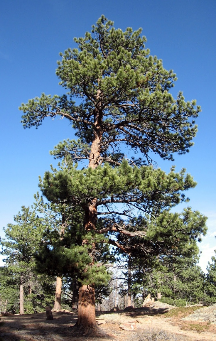 The Biggest Pinus