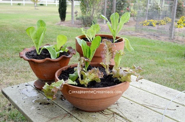 growing lettuce in containers  It will grow in just about anything as long as it is at least 6 inches deep and has a drainage hole in the bottom.  Space the plants about 4-5 inches apart.  3 plants will fit in an 8 inch sized pot. Remember to give your newly-planted lettuce a good drink of water. Lettuce will need at least 6 hours of sun to grow. It will survive frosts but if the temperature dips into the 20s, you can protect it by covering or moving it inside during the nighttime.