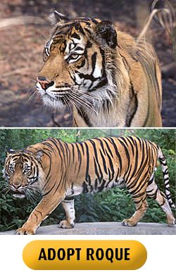 tiger adoption pic (c) T Wiles / Born Free Foundation