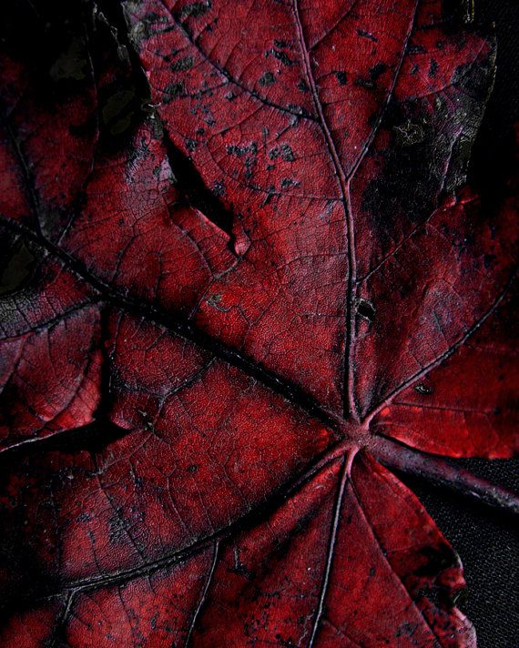Deep Red Leaf, 8 X 10 photograph, fine art photographic print, Botanical Print
