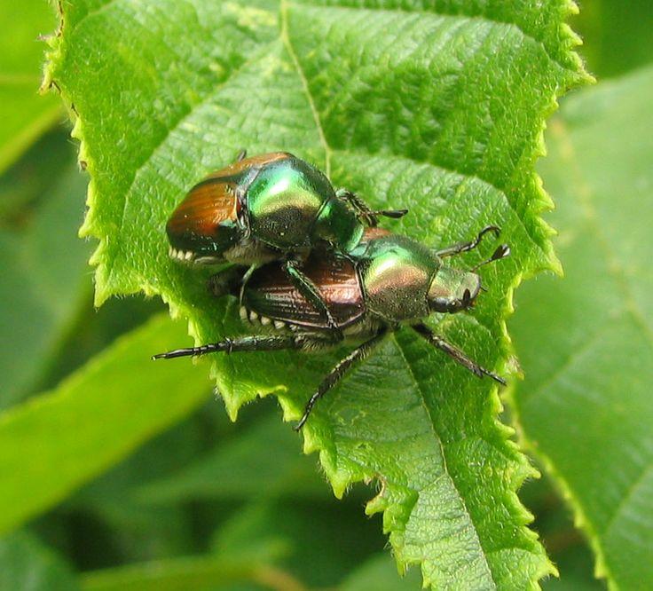 Acasalamento entre Popillia japonica, dois besouros japoneses.