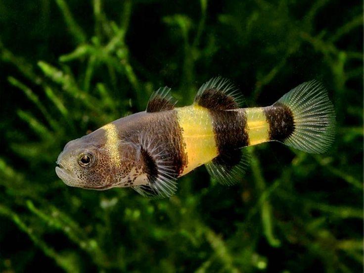аквариумная рыбка Бычок Пчелка, Шмель, Brachygobius doriae