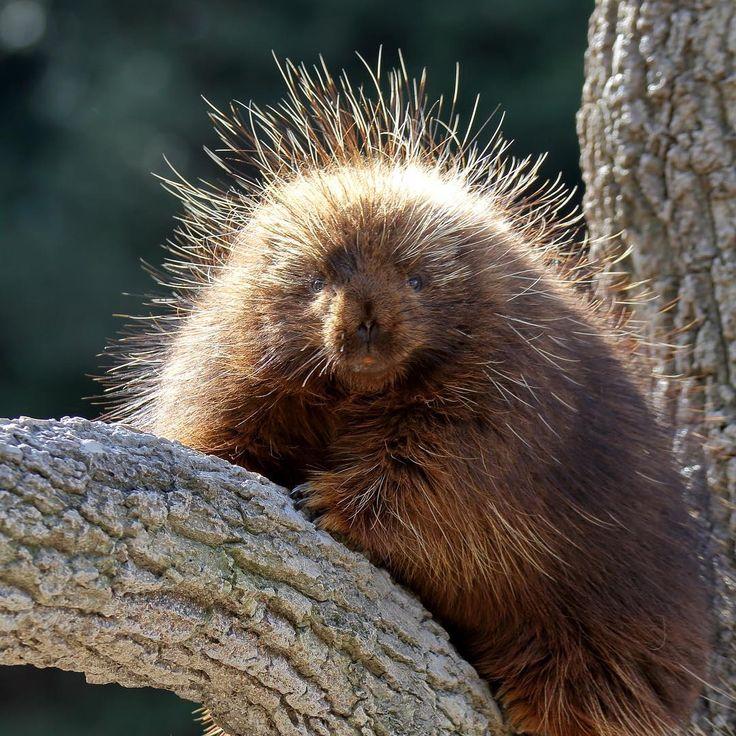 いいね!150件、コメント6件 ― masatak@さん(@no_life_no_zoo)のInstagramアカウント: 「カナダヤマアラシ ルーリー ♀ #ZOO #動物園 #動物 #animallover #東山動物園 #カナダヤマアラシ #cute #三元亭写真部 #ヤマアラシ #instazo #Porcupine」
