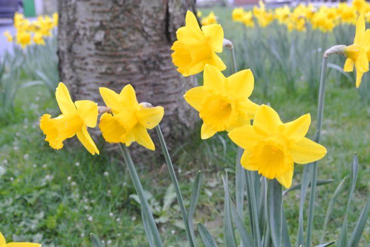 084 Narcissus