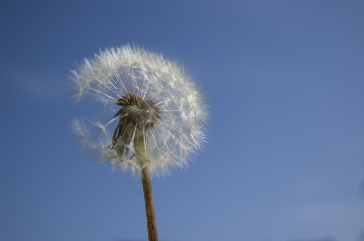 """Il magico """"soffione"""": quando spunta è ora di primavera"""