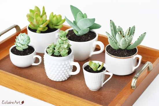 Teacup recipe suggestion: A group of succulents in all white cups of different sizes and textures looks cohesive and interesting
