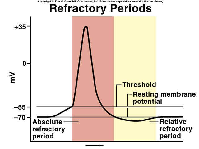 Neuron Action Potential Stimulation. ABSOLUTE vs RELATIVE REFRACTORY PERIODs explained...