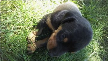 Litter of 6 Doberman Pinscher puppies for sale in LESTER PRAIRIE, MN. ADN-38019 on PuppyFinder.com Gender: Male(s) and Female(s). Age: 3 Weeks Old
