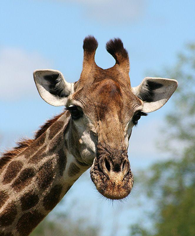 Google Image Result for http://1.bp.blogspot.com/-US5g4Nfokig/T1fNud2EjiI/AAAAAAAAAMA/_8vTzsFbmds/s1600/giraffe_portrait.jpg