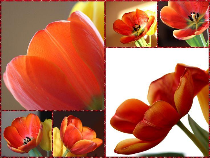 Tulipánky1