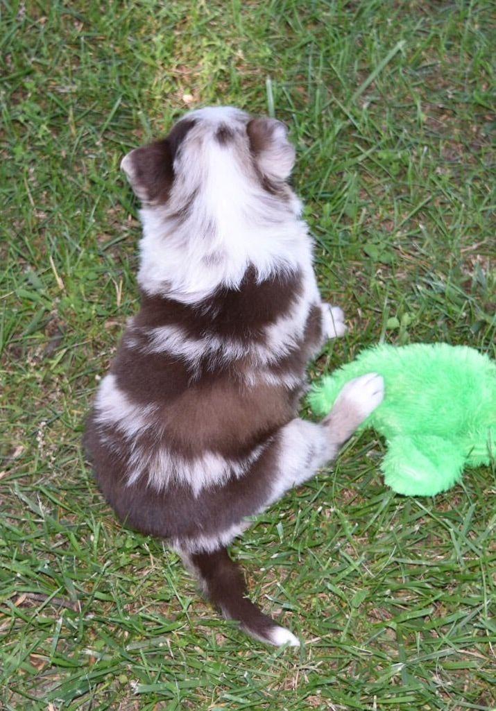 Kona Has A Gorgeous Red Merle Border Collie Coat Bordercollie Maremma Sheepdog Puppy Border Collie Border Collie Puppies
